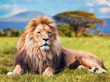 Wielki lew leżący na sawannie trawie. Kenia, Afryka