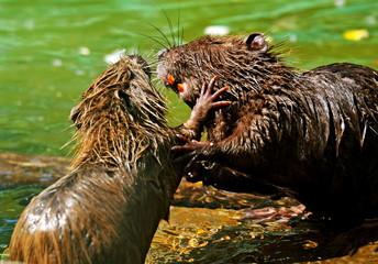 Water rat in natural environment