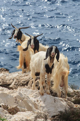 Funny looking goats in a seaside