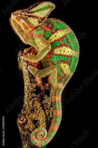 Papiers peints Cameleon Yemen chameleon