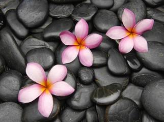 Three frangipani flowers on black pebbles