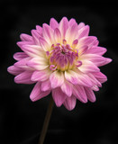 Purple chrysanthemum on black background