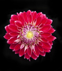 Red chrysanthemum on black background