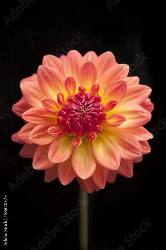 Foto op Canvas Dahlia Orange chrysanthemum on black background