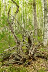Broken tree roots. broken tree