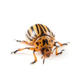 The Colorado potato beetle (Leptinotarsa decemlineata)