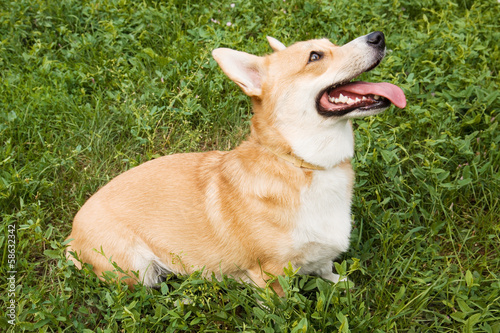A Welsh Corgi Pembroke dog