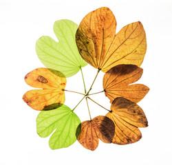 bauhinia variegata leaves