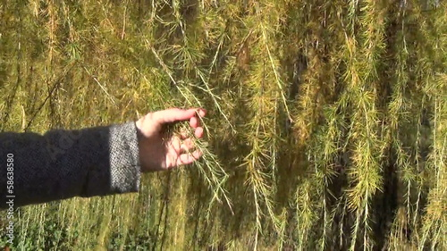 woman hand touch colorful hang larch tree branch twigs in autumn