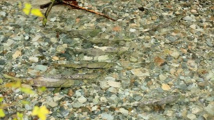 Salmon Spawning in Creek