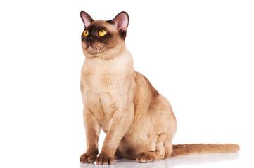 sable burma cat