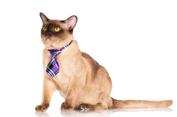 burmese cat in a tie