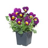 pot fleurs de pensée