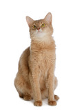 Somali cat isolated on white background
