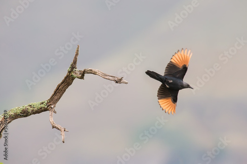 Red-winged starling take off from a dry branch