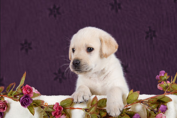 Small labrador puppy with flowers in blanket on pink pattern