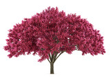Japan tree sakura isolated. Prunus cerasus