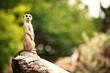 Meerkat (Surikate) - 58653985