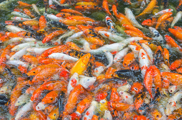 many Koi fish swim on the pond
