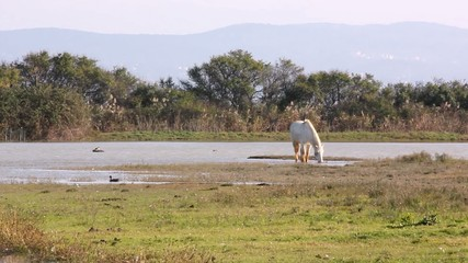 Camargue Horse In The Wild