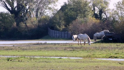 Camargue Horses In The Wild