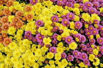Dreifarbige Herbstaster (Chrysanthemum spec.)