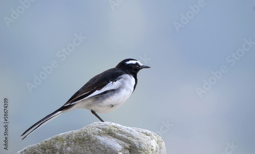 White-browed Wagtail or Large Pied Wagtail (Motacilla madaraspat