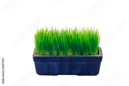 Green wheatgrass growing in pot