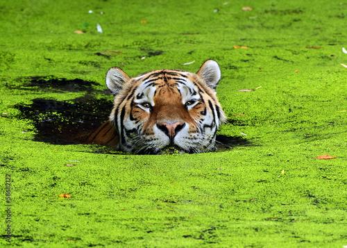Foto op Canvas Tijger cat