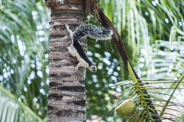 White and Black Variegated Tree Squirrel