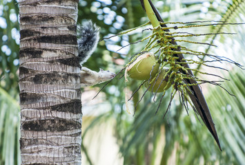 Tree Squirrel Eyes a Partly Chewed Coconut