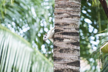 Variegated Tree Squirrel