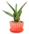 Aloe in flowerpot, isolated on white