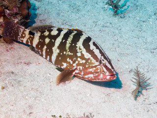Nassau grouper (Epinephelus striatus) on sandy bottom