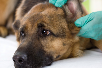 Veterinarian looking ear of a German shepherd dog,close up