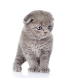 british shorthair kitten standing in front. isolated on white