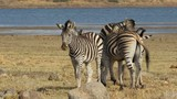 Interacting plains Zebras  against a blue sky