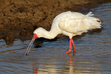 African spoonbill foraging in shallow water