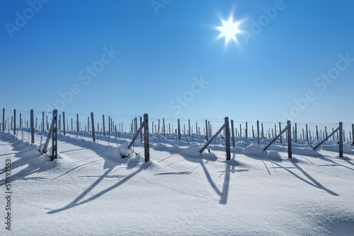 Snowy vineyards under blue sky at sunny day.