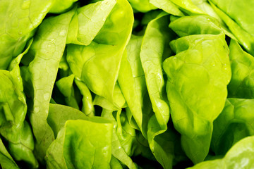 Green lettuce, close up.