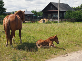 the foal has a rest after feeding