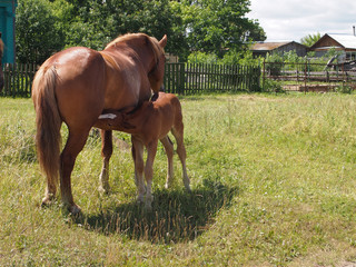 the horse feeds a foal