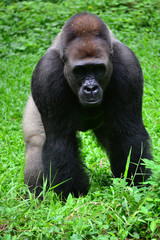 gorilla standing on the grass