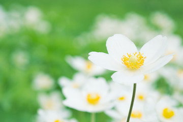 Anemones white flowers