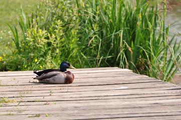 Canard Colvert au repos sur un ponton de bois