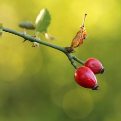 Hagebutten /rose hip