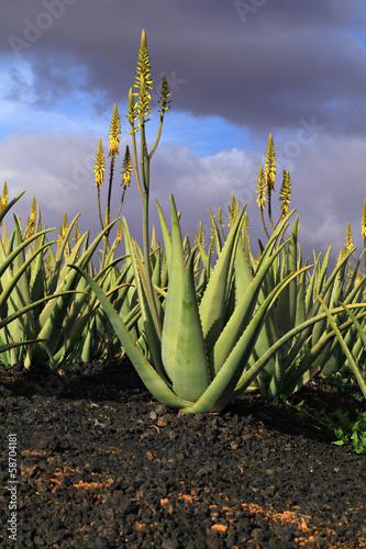 Aloe vera plantation.