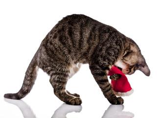 Christmas, cat
