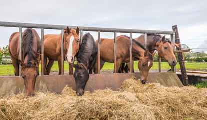 Horses eating at a feed fence