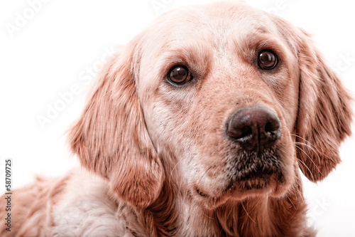 golden retriever 7
